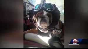 Bulldog puppy in need of surgery goes on bucket list adventure [Video]