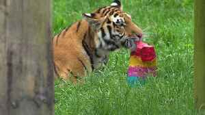 Whipsnade Zoo tiger cubs celebrate first birthday [Video]
