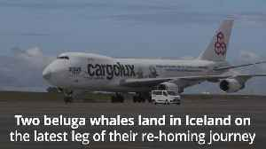 Two beluga whales land safely in Iceland on latest leg of re-homing trip [Video]