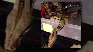 Owner of Exotic Animal Center Believes Stolen Boa Snake May Have Bitten Thief [Video]