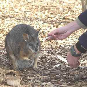 Adorable Tammar Wallabies aren't afraid of doctors [Video]
