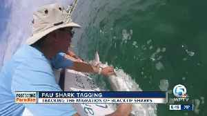Florida Atlantic University scientists tag sharks to study their behaviors [Video]