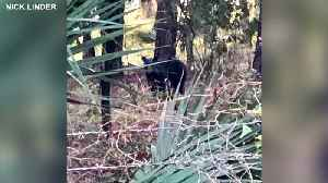 Bear spotted numerous times in Polk County [Video]