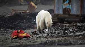 Hungry polar bear wanders into major Russian town as wildfires rage across Arctic Circle [Video]