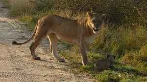 Lioness safely carries her cub across the road [Video]