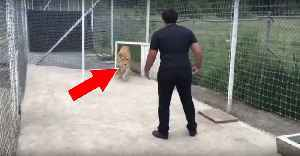 He Saved A Lion Cub's Life... When He Returned Two Years Later She Reacted In A Beautiful Way [Video]