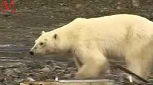News video: Hungry Polar Bear Wanders into Russian City Hundreds of Miles From Home