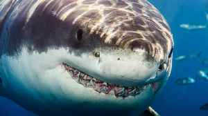In South Africa, Great White Sharks Are Being Hunted By An Even Bigger, Scarier Predator [Video]