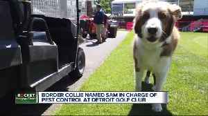 Border Collie named Sam in charge of pest control at Detroit Golf Club [Video]
