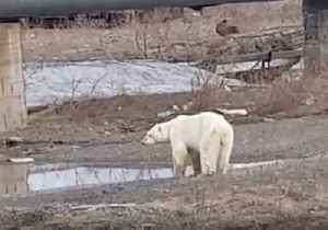 'Hungry and Sick' Polar Bear Seen Wandering Near Talnakh, Russia [Video]
