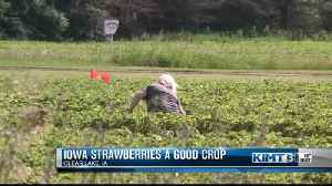 Good year for strawberries [Video]