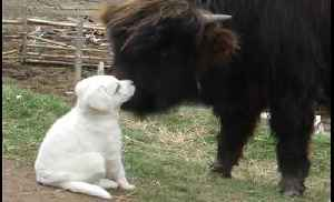 Bison and guard-dog puppy quickly become friends [Video]