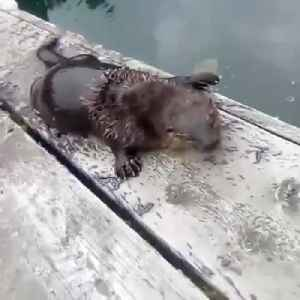 Man Unexpectedly Makes Otter Friend [Video]