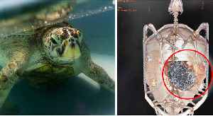 They Found Something Insane Inside This Poor Sea Turtle's Stomach [Video]