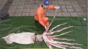 Scientists Spot Rare 12-Foot Giant Squid In Gulf Of Mexico [Video]