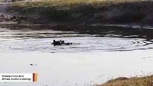 Heartbreaking Video Show Female Hippo Appearing To Grieve A Deceased Baby [Video]