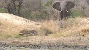 Heroic Elephant Chases Off Unlucky Leopard While Stalking Impala Dinner [Video]