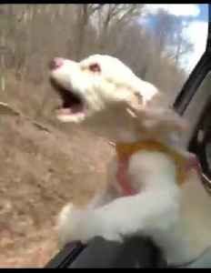 Puppy's first time with head out of car window will crack you up! [Video]