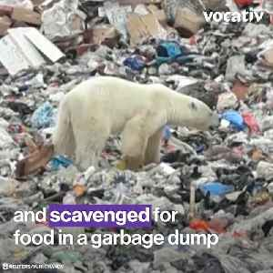 This Starving Polar Bear Scavenged for Food in a Siberian City Hundreds of Miles from its Habitat [Video]