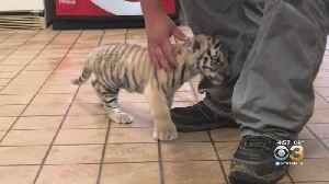 Six Flags Great Adventure Celebrates Birth Of Siberian Tiger Cub [Video]