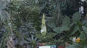 Corpse Flower Expected To Bloom Within Next 2 Weeks [Video]