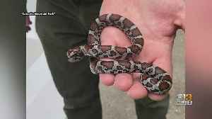 Nonvenomous Eastern Milksnake Found At A National Park Pool In Maryland [Video]