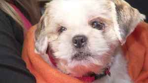 Dozens of More Than 140 Shih Tzus Rescued in CA Hoarding Case Cleared for Adoption [Video]