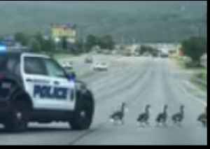 Alabama Police Escort Gaggle of Geese Across Highway [Video]