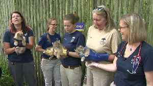 Web Extra: Lynx Kittens Get First Wellness Check At Zoo [Video]
