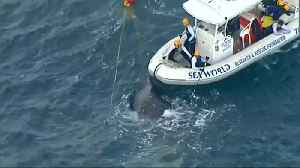Whale caught in shark nets rescued off Australian coast