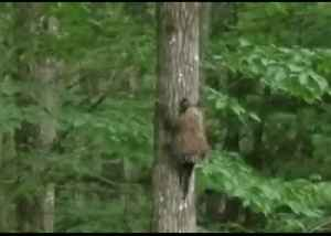 'Wait for Me!': Determined Porcupine Follows Its Mom up New Hampshire Tree [Video]