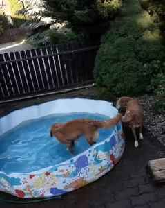 Dog in Pool Splashes Water at Puppy Outside of Pool [Video]