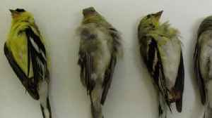 Mystery Behind California's Poisoned Songbirds Solved [Video]