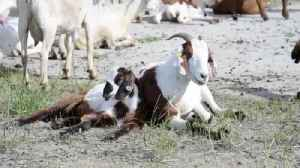 Goats Invade Air Force Base To Attack Weeds [Video]