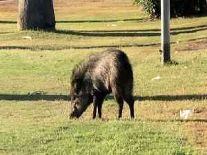 KEEP YOUR DISTANCE! Javelina found in Central Phoenix - ABC15 Digital [Video]