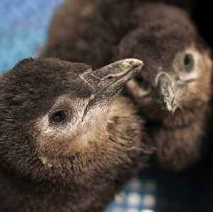 They grow up so fast! Penguin chicks at New England Aquairum [Video]
