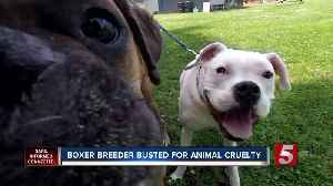 Boxer breeder gets jail time for animal cruelty case [Video]