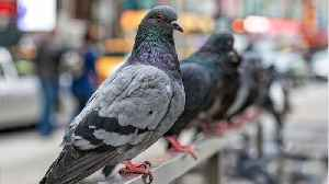 Why Does America Have So Many Pigeons? [Video]