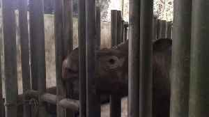 'This is What Extinction Looks Like': British Conservation Activist Meets Last Sumatran Rhino in Malaysia [Video]