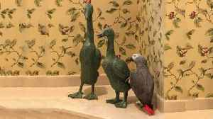 Affectionate parrot gives duck statue a kiss [Video]