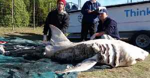 This Is The Real Reason 'Murdered' Great White Sharks Kept Washing Up In South Africa [Video]