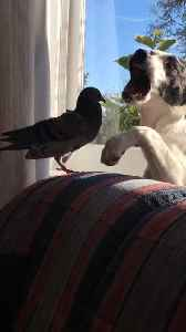 Pigeon and puppy friends enjoy play-fight session [Video]