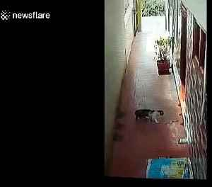 Brave pet cat fights off deadly cobra at home in southern India [Video]