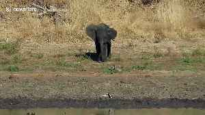 Watch cheeky baby elephant's hilarious attempt to chase away small bird [Video]