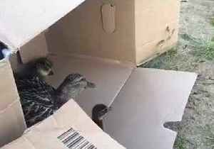 Family of Ducks Rescued From Busy German Street [Video]