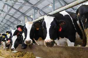 Current Cow Breeding Methods Could Lead to Their Extinction [Video]