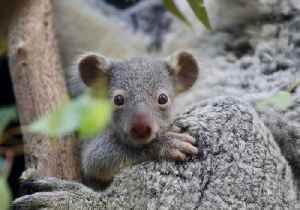 'Lucky Seven' Koala Joeys Peep Out of Mothers' Pouches at Australian Reptile Park [Video]