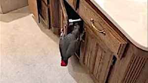 Prying parrot goes snooping in bathroom cabinets [Video]