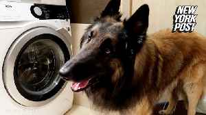 Watch adorable pup lend a helping paw during laundry time [Video]