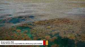 Scientists Have Discovered The World's Biggest Seaweed Bloom [Video]